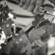 mani e forbici che tagliano grappo di uva