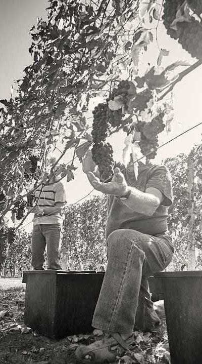 uomo che raccoglie uva con sole alle spalle