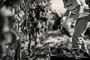 mano con uva durante la vendemmia