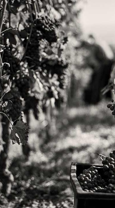 produttori-di-govone_vini_tipici_del_piemonte_vendemmia_07.jpg