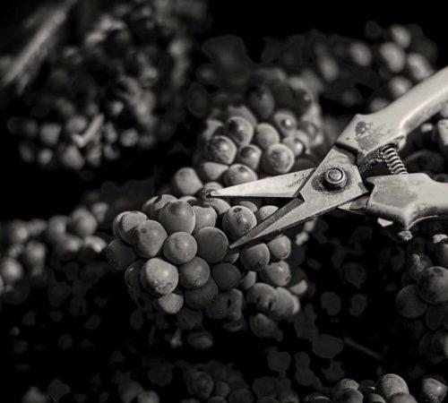 produttori-di-govone_vini_tipici_del_piemonte_vendemmia_08.jpg